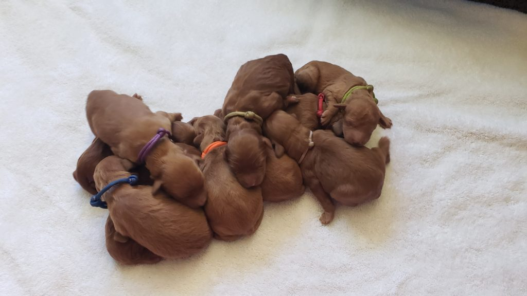 F1b Mini Goldendoodle Puppies Are Here Lulu S Goldendoodle Puppies